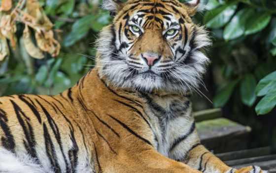 тигр, злой, тигры, miracle, you, природа, чудес,