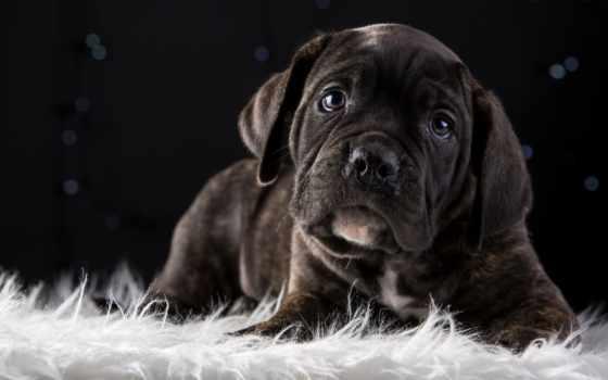 corso, cane, собака, pictures, порода, pin, top, щенок, плакат,
