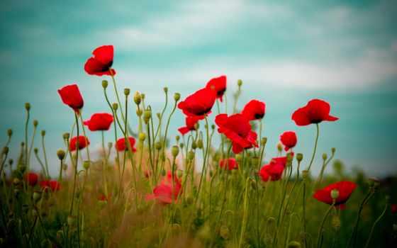 маки, red, поле, cvety, природа, небо, трава, красные,