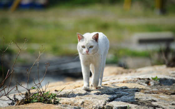 gato, blanco, голова