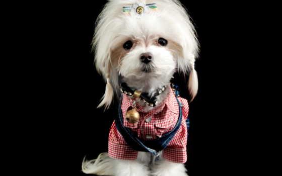 животные, клипарт, домашние, maltese terrier, терьер,