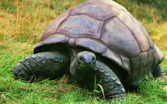 gigante, jabuti, los, aldabra, tartaruga, que, reptiles, seychelles, reply, gigantes, viver, mais,