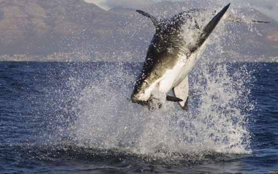 акула, белая, большая