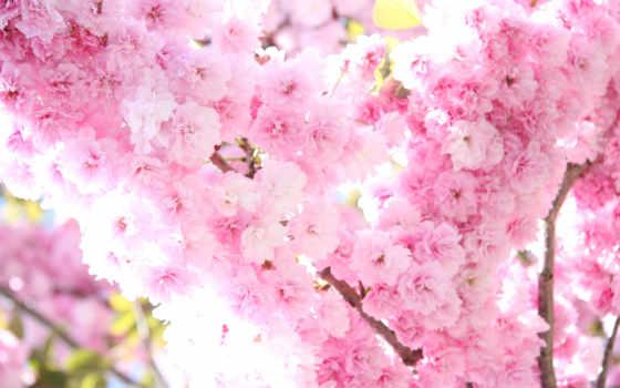 Сакура, цветы, цветение Фон № 56475 разрешение 2560x1600