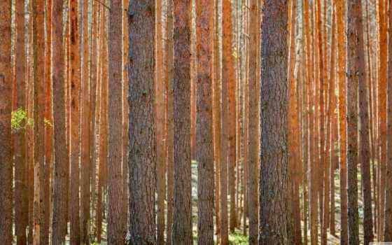 лес, сосны, high