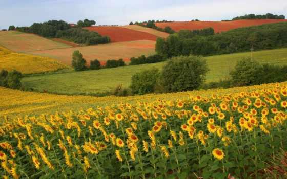 поле, подсолнухи, красавица, подсолнухов, margin, природа,
