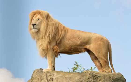 lion, zhivotnye, остов, animal, является, картинка, лошадь, wild,