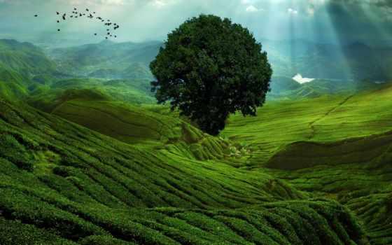 чайные, плантации, чая, плантация, чайная, чая, растут, котором, кусты, сайт, земли,