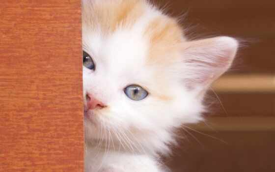 white, eyes, кот, kitty, cats, blue,