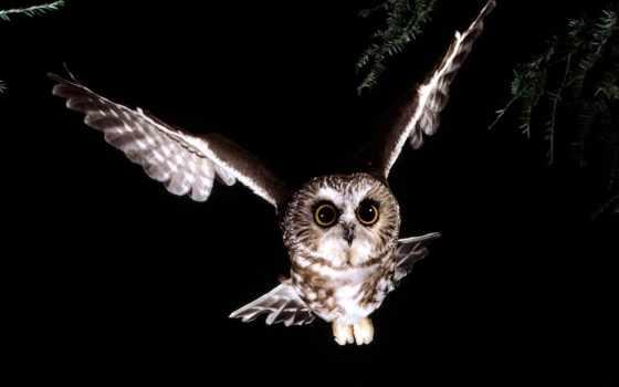 сова, совы, темноте, nest, субботняя, совиное, февр,