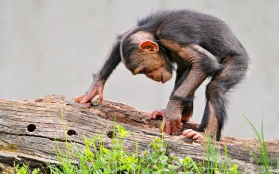 обезьяна, шимпанзе, трава, log, дек,