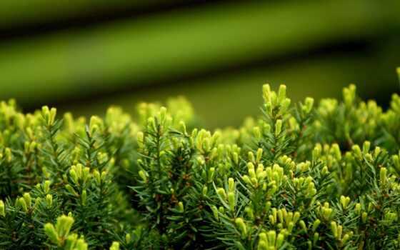 макро, зелёный, мебель, листва, растение, можжевельник, можжевельника,