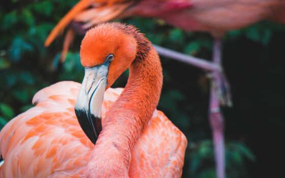 лист, incolor, fotobumaga, glossy, фламинго, оперативный, птица