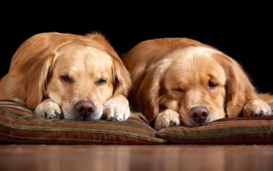 собаки, животные, que, бультерьер, ретривер,