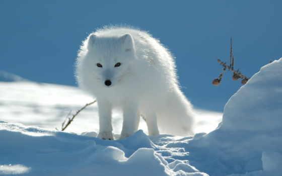 зимой, winter, фокс