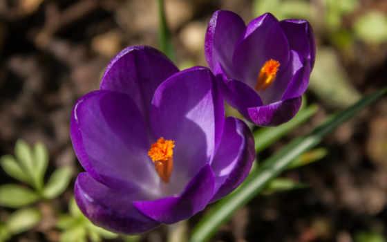 сиреневые, крокусы, цветы