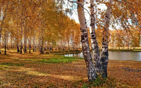 осень, березы, trees, природа, park, лес, пруд, озеро, картинка, красиво,