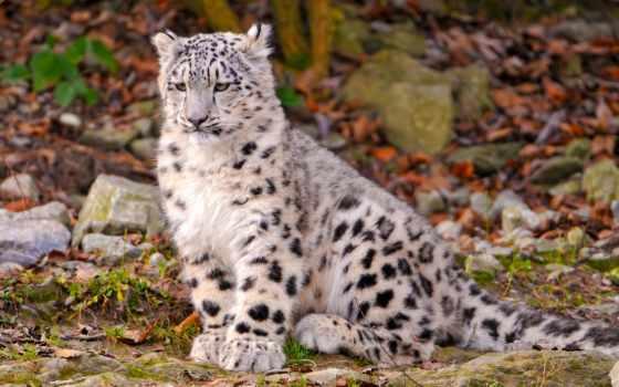 leopardo, las, nieves, pinterest, pantalla, fondos, sobre, animales,