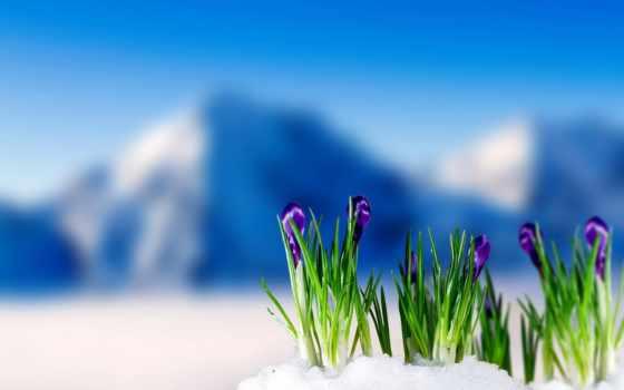 крокусы, весна, снег, крокус, цветение, гора, flowers, fone, снега,