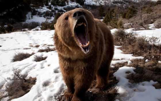 медведь, animal, глаза, открыть, пасть, между, тематика, пульте, лес, real