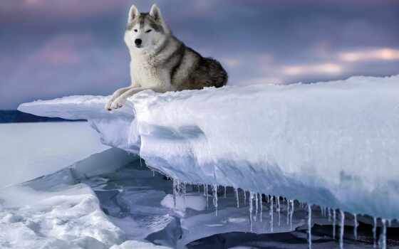 хаска, собака, winter, снег, siberian, льдина, хаски, лед, icicle