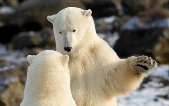 медведи, белые, снег