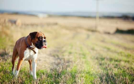 boxer, породы, german, очень, собак, собака, собаки, boksery,