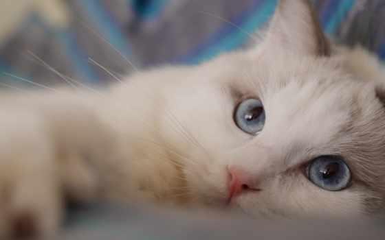 pet, кот, upload, ragdoll,