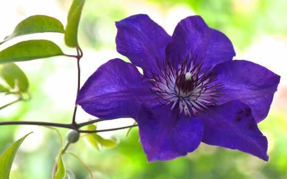 ломонос, цветы, cvety, макро, purple,