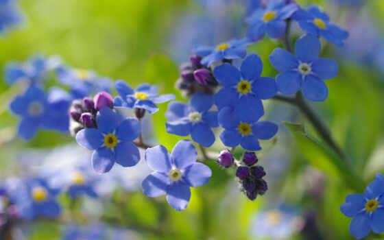 незабудка, цветы, semolina, dry, там, нежность, радость, растение, вино, youtube