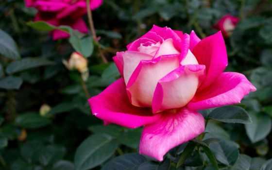 розы, цветы, прекрасные