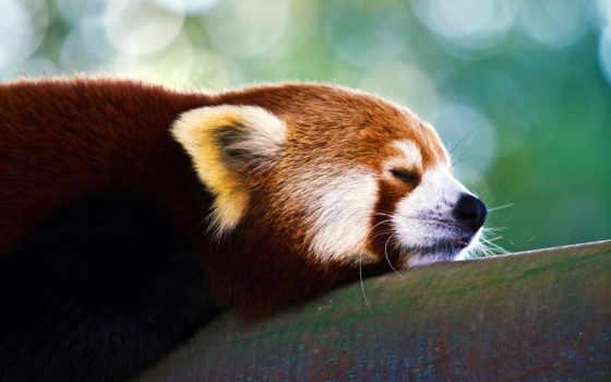 панда, красная, zhivotnye