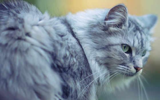кот, cats, серый