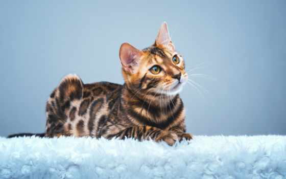 zhivotnye, кот, бенгальская