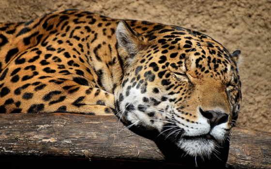 леопард, морда, ягуар, дек, хищник, кошка, смартфонов, iphone, дикая,