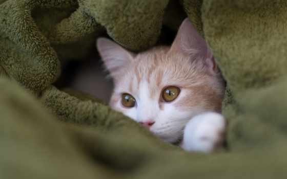 кот, плед, морда, котенок, hannah,