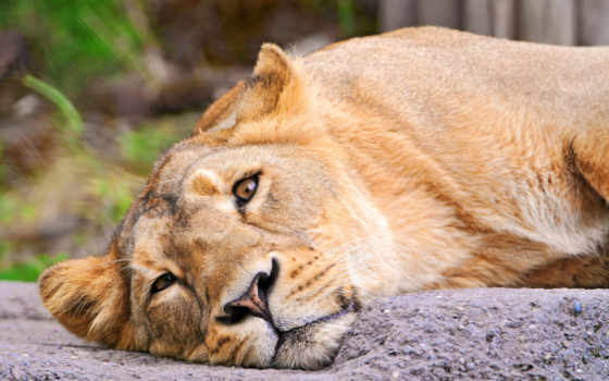 львица, lion, морда