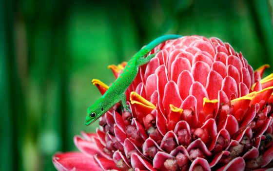 ginger, факел, gecko, wild, elatior, etlingera, rainforest, жан,