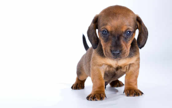 щенок, dachshund, собаки, белом, fone, малыш, щенки, собака, разрешениях, разных,
