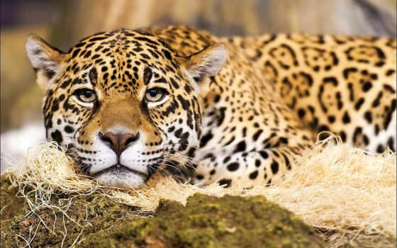 jaguar, кот, большие