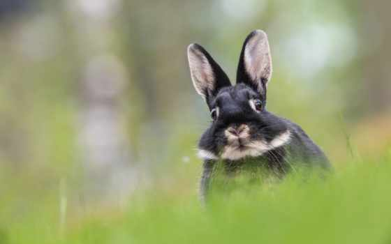 sweetheart, кролика, морда, чёрно, белого, zhivotnye,