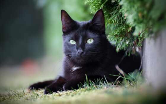 кот, black, картинка, смотреть, kitty