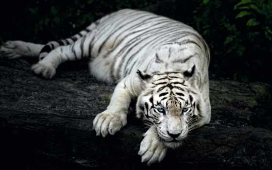 тигр, amur, взгляд