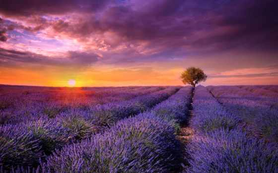 lavender, цветы, природа
