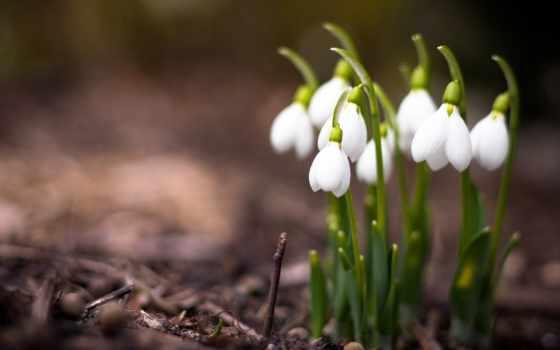 подснежники, цветы, весна, макро, природа,