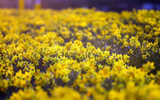 daffodils, desktop, кб