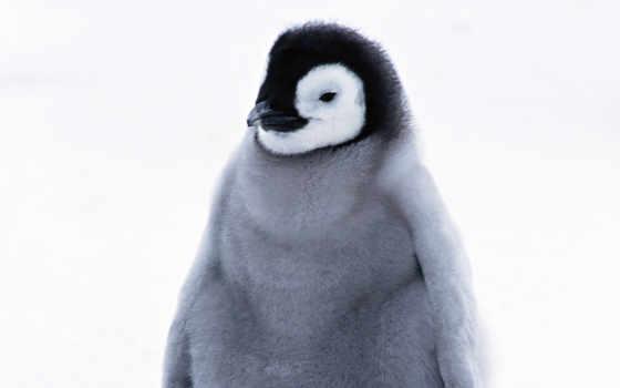 пингвина, птенец, pingvin, животных, trụ,