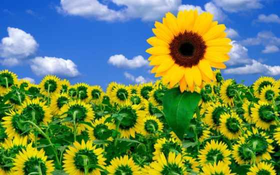 цветы, подсолнух, подсолнухи