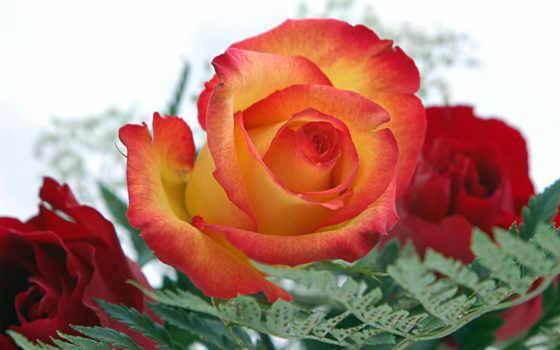 tapety, pulpit, kwiaty, tapet, růže, розы, zobacz, ría, цветы,