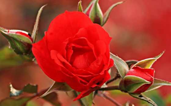 free, desktop, цветы, роза, планшетный,